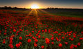 Field Of Red Poppies Royalty Free Stock Photography - 31040007