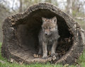 Gray Wolf Pup Royalty Free Stock Photos - 31054488