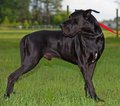 Black Great Dane Stock Photo - 31055140