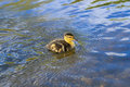 Baby Duck Swimming Royalty Free Stock Photos - 31056578