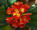 Bush Lily (Clivia Miniata) Flower Closeup Royalty Free Stock Photo - 31058345