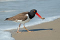 American Oystercatcher Stock Image - 31061591