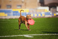 Pit Bull Terrier Dog Brings Toy Stock Image - 31067051