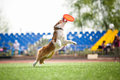 Border Collie Dog Catching The Flying Disc Royalty Free Stock Images - 31067109
