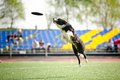 Border Collie Dog Catching The Flying Disc Royalty Free Stock Photo - 31067115