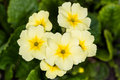 Yellow Flowers Primroses Royalty Free Stock Images - 31084709