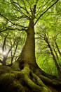 Old Beech Tree Royalty Free Stock Photography - 31102127