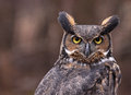 Great Horned Owl Ears Stock Image - 31115241