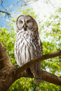 Great Grey Owl   At Forest Stock Image - 31121671