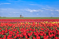 Red, Pink, Yellow Tulip Fields And Windmill Stock Photography - 31125382