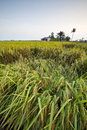 The Paddy Field Stock Photos - 31128813