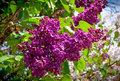 Close-up Branch Of Violet Lilac Stock Photo - 31134670
