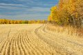 Harvested Wheat Field Bordered By Aspens Stock Photo - 31135510