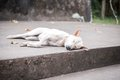 White Dog Sleeping Stock Image - 31138161