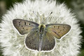 Lycaena Tityrus / The Sooty Copper Butterfly Royalty Free Stock Images - 31167829