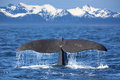 Whale Tail Royalty Free Stock Photo - 31171165