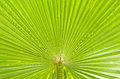 Texture Of Green Palm Leaf Stock Photos - 31179163
