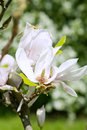 Blossoming Out Flower Of Magnolia Soulangeana Stock Images - 31193804