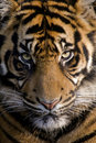 Amur Tiger Royalty Free Stock Images - 3129459