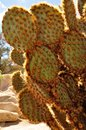 Close-up Of Dollarjoint Pricklypear Cactus Royalty Free Stock Image - 31204316