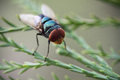 Blue Bottle Fly Royalty Free Stock Images - 31206239