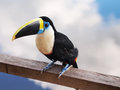 Toucan Stock Images - 31208604