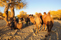 Camels In The Desert Stock Images - 31215154