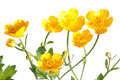 Ranunculus Repens (Creeping Buttercup) Royalty Free Stock Photography - 31229637