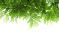 Green Leaves And Branches Royalty Free Stock Photography - 31233107