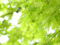 Tamarind Leaves Royalty Free Stock Photography - 31233117