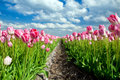 Beautiful Pink Tulips Over Blue Sky Stock Images - 31244884