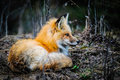 Wild Red Fox Stock Images - 31257934