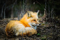 Wild Red Fox Royalty Free Stock Photography - 31257977
