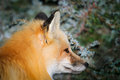 Wild Red Fox Stock Image - 31258091