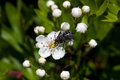 Fly On Flower Of Hawthorn Stock Images - 31273464