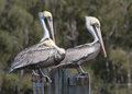 Two Pelicans On Watch And One Trying To Sleep Royalty Free Stock Images - 31279249