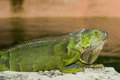 Green Iguana Royalty Free Stock Photo - 31281375