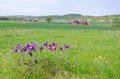 Pasque Flowers In Sweden Royalty Free Stock Photo - 31293185