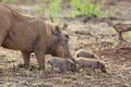 Watrhog With Piglets Stock Photography - 31299532