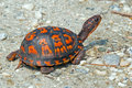 Box Turtle Stock Images - 31299704
