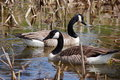 Canadian Goose Stock Photography - 3131992