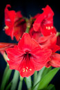 Red Amaryllis Flowers Stock Photography - 31316552