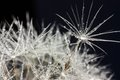 Drops Of Water And Dandelion Stock Images - 31326734