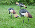 Crowned Crane Stock Photos - 31329373