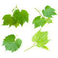 Set Of Grape Leaves Stock Image - 31333641