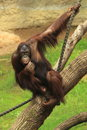 Orangutan Royalty Free Stock Photography - 31341467