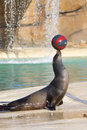 Sea Lion Royalty Free Stock Photography - 31345777