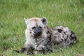 Spotted Hyena Stock Image - 31349651