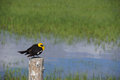 Yellow Headed Blackbird (Xanthoocephalus Xanthocephalus) Stock Image - 31352931