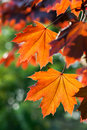 Red Autumn Leaves Royalty Free Stock Photos - 31367088